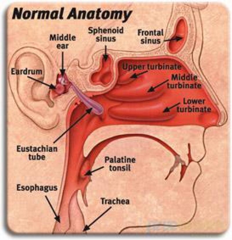 Perfect Ear And Sinus Anatomy Photos - Human Anatomy Images ...